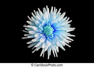 hermoso, flor azul, dalia