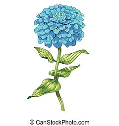 hermoso, flor azul, illustration., zinnia, aislado, tallo,...