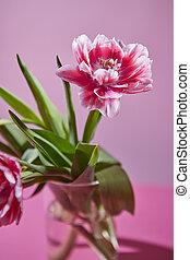 hermoso, flor, composición, de, tulipanes, en, un, fondo rosa