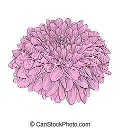 hermoso, flor, dalia, aislado, en, fondo., hand-drawn, contorno, líneas, y, strokes.
