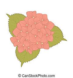 hermoso, flor, hydrangea, aislado, blanco, plano de fondo