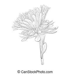 hermoso, flor, isolated., aster, negro, blanco, monocromo