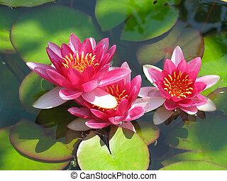hermoso, flor, loto, hojas, agua, verde, florecer, lirio de ...