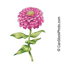hermoso, flor rosa, aislado, fondo., vector., blanco,...