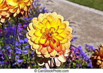 hermoso, florecer, dalia, en, cantero