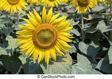 hermoso, florecer, sol, flores, en, el, campo