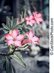 hermoso, flores, adenium, rosa
