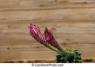 hermoso, flores, de, cacto