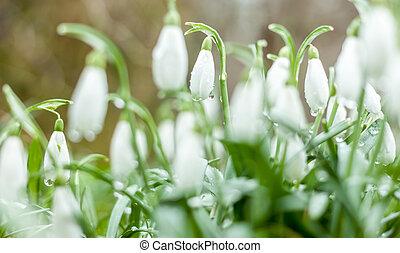 hermoso, flores del resorte, snowdrops