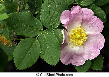 hermoso, flower-dogrose, con, mojado, pétalos