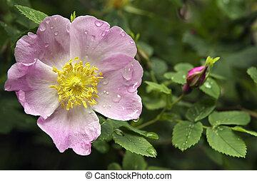 hermoso, flower-rose, con, mojado, pétalos