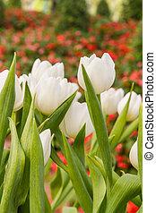 hermoso, fresco, blanco, tulipanes, campo, en, tiempo del resorte