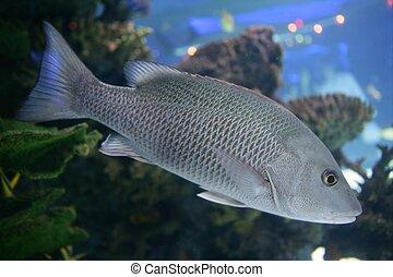 hermoso, gris, escalas, pez, snapper, agua salada, natación