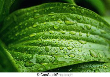 hermoso, hoja verde, con, gotas, de, agua, hoja, con, gotas del agua, para, plano de fondo, gotas, en, pequeño, planta, después, un, temporal, macro, gota, brillo, en, luz sol, naturaleza, naturaleza, concepto