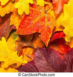 hermoso, hojas del arce del otoño