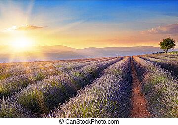hermoso, imagen, campo, Lavanda