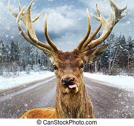 hermoso, invierno, grande, cuernos, venado, camino de país