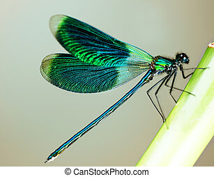 hermoso, libélula, brillante