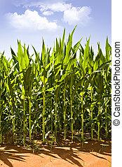 hermoso, maíz, verde, crecer, campo