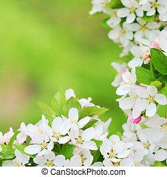 hermoso, manzano, flores, en, temprano, primavera