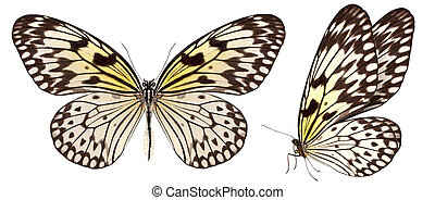 hermoso, mariposa, aislado, blanco