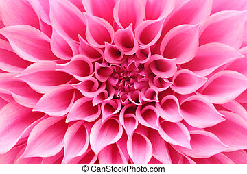 hermoso, moda, familia , pétalo, resumen, closeup(macro), flor rosa, y, patrón, espiral, arreglo, belongs, bastante, tiene, circular, brillante, dalia, esto, petals., maravilloso, margarita, o