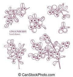 hermoso, monocromo, dibujo, de, ártico, lingonberry, aislado, blanco, fondo., madurado, bosque boreal, bayas, dibujado, en, retro, aguafuerte, style., vista, de, diferente, angles., natural, vector, illustration.