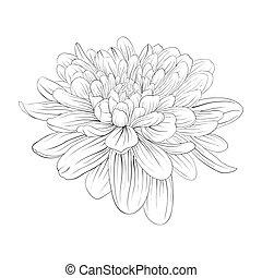 hermoso, monocromo, negro y blanco, dalia, flor, aislado, blanco, fondo.