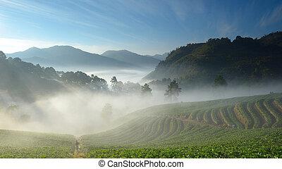 hermoso, montaña, doi, alpinista, granja, mañana, angkhang, fresa, niebla, tailandia