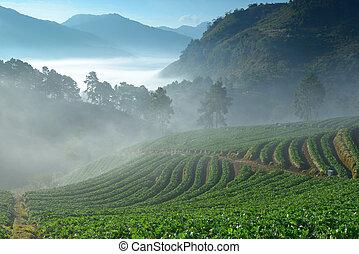 hermoso, montaña, doi, granja, mañana, angkhang, fresa, niebla, tailandia