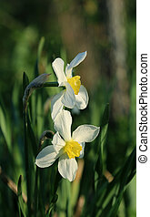 hermoso, (narcissus), narcisos
