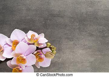 hermoso, orquídea rosa, en, un, gris, fondo.
