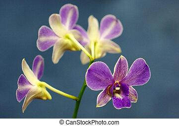 hermoso, púrpura, (phalaenopsis), orquídea