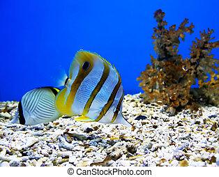hermoso, peces, dos