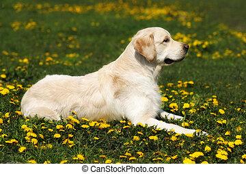 hermoso, perro, casta, perro cobrador dorado, acostado