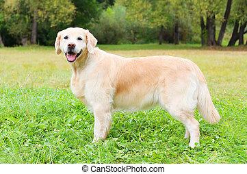 hermoso, perro cobrador dorado, perro, en, pasto o césped, en, día de verano, opinión del perfil