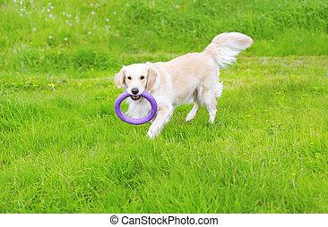 hermoso, perro cobrador dorado, perro, juego, con, caucho, juguete, en la hierba, en, día de verano