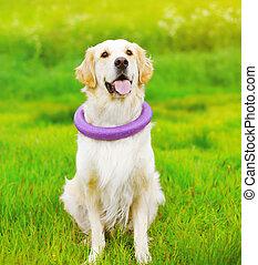 hermoso, perro cobrador dorado, perro, juego, con, caucho, juguete, en la hierba, en, soleado, día de verano