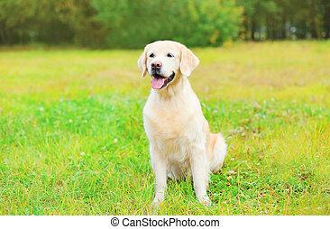 hermoso, perro cobrador dorado, perro, sentar césped, en, día de verano