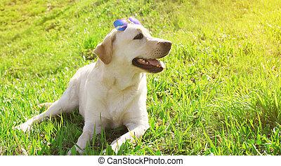hermoso, perro labrador, perro, mentira en la hierba, en, día de verano