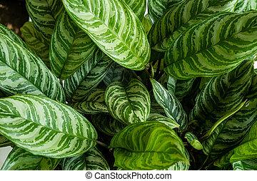 hermoso, plantas, cima, verde, potted, aglaonema, vista