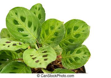 hermoso, plantas, multicolor, verde, potted, calathea