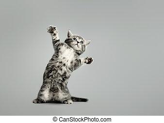 hermoso, poco, gatito, estantes, uno, gris, piernas, trasero