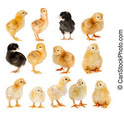 hermoso, polluelos, collage, negro, amarillo
