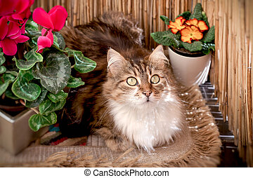hermoso, posturas, largo-long-haired, gato, gato, entre, flores, se sienta, balcón