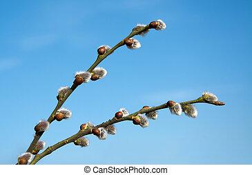 hermoso, primavera, catkins, en, cielo azul, plano de fondo