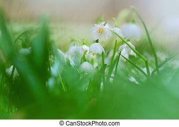 hermoso, primavera, copos de nieve, flores, en, primer plano, detalle