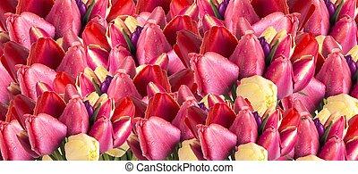 hermoso, primavera, flor, tulipán