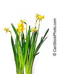 hermoso, primavera, narciso, aislado, en, un, fondo blanco