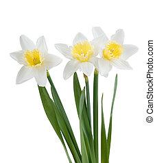 hermoso, primavera, narciso